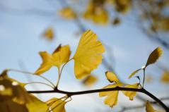 Big ginkgo trees_69