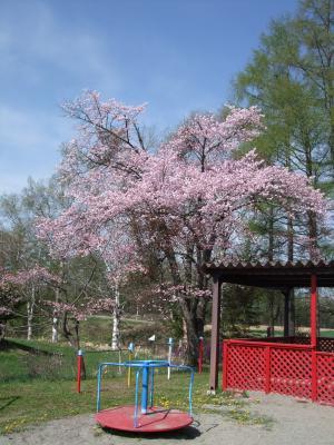 100521桜