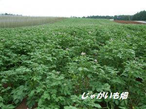 100705ジャガイモ畑