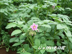 100705ジャガイモの花