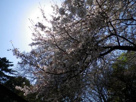 sakura+004_convert_20110415022004.jpg