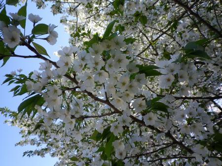 sakura+013_convert_20110415023148.jpg
