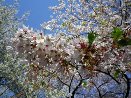 sakura+015_convert_20110415022740.jpg