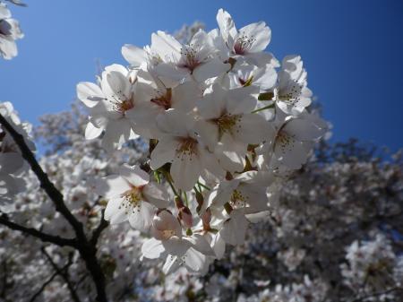 sakura+026_convert_20110415022449.jpg