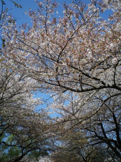 sakura+028_convert_20110415023518.jpg