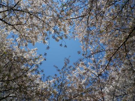 sakura+030_convert_20110415022204.jpg
