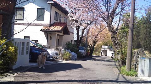 DSC_0253120407家の前の桜
