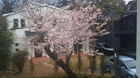 DSC_0320120412桜