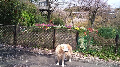 DSC_0360120414桜吹雪に春の花