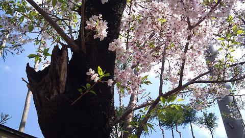 DSC_0349120413老桜に若き桜