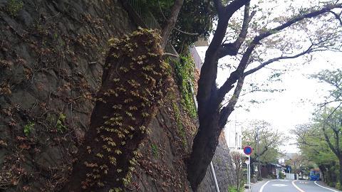 DSC_0455120424桜通り