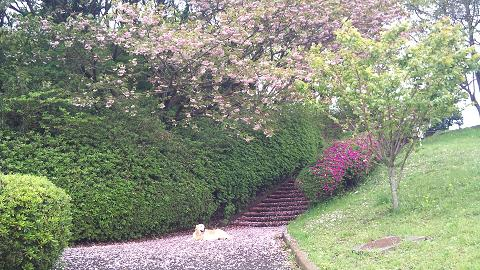 DSC_0577八重桜の花びら