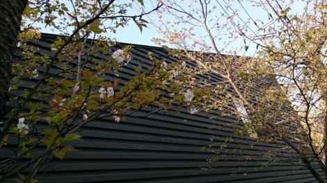 DSC_0512130319桜