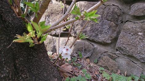 DSC_0520130319桜2