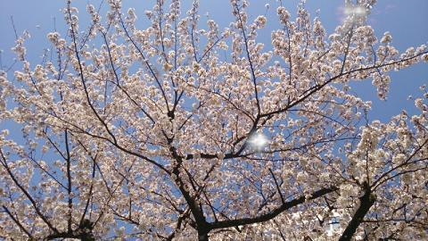 DSC_0536_20130322233232516桜咲いた