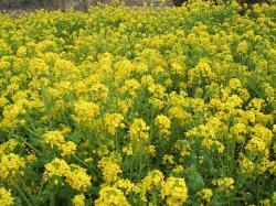 サウス・菜の花UP250