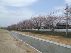 千両街道・桜
