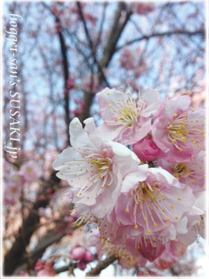 20130222雪割桜5