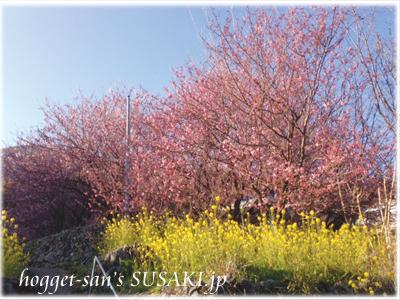 20130222雪割桜1