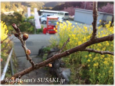20130222雪割桜2