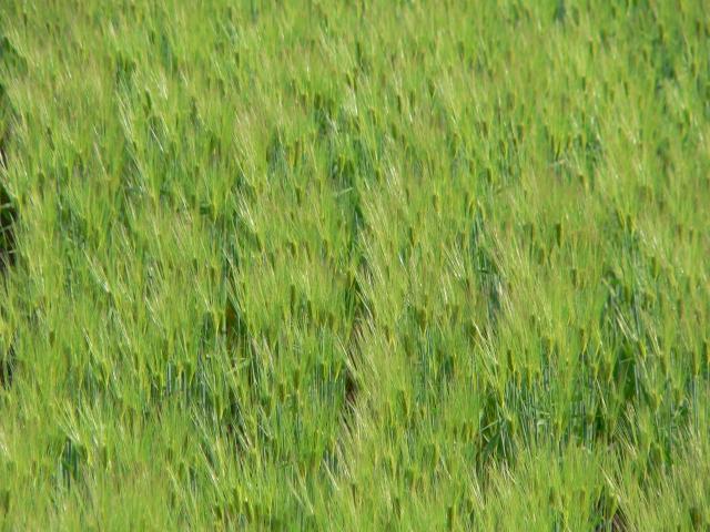 麦の髭キラキラ