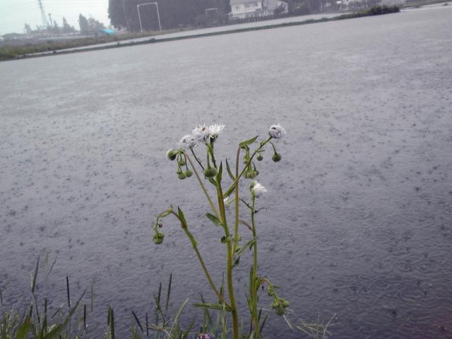 雨で田水深しむ