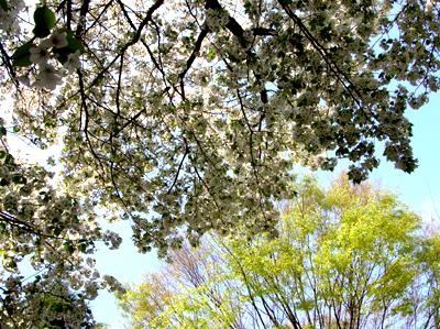 清瀬市竹丘緑地公園の大島桜
