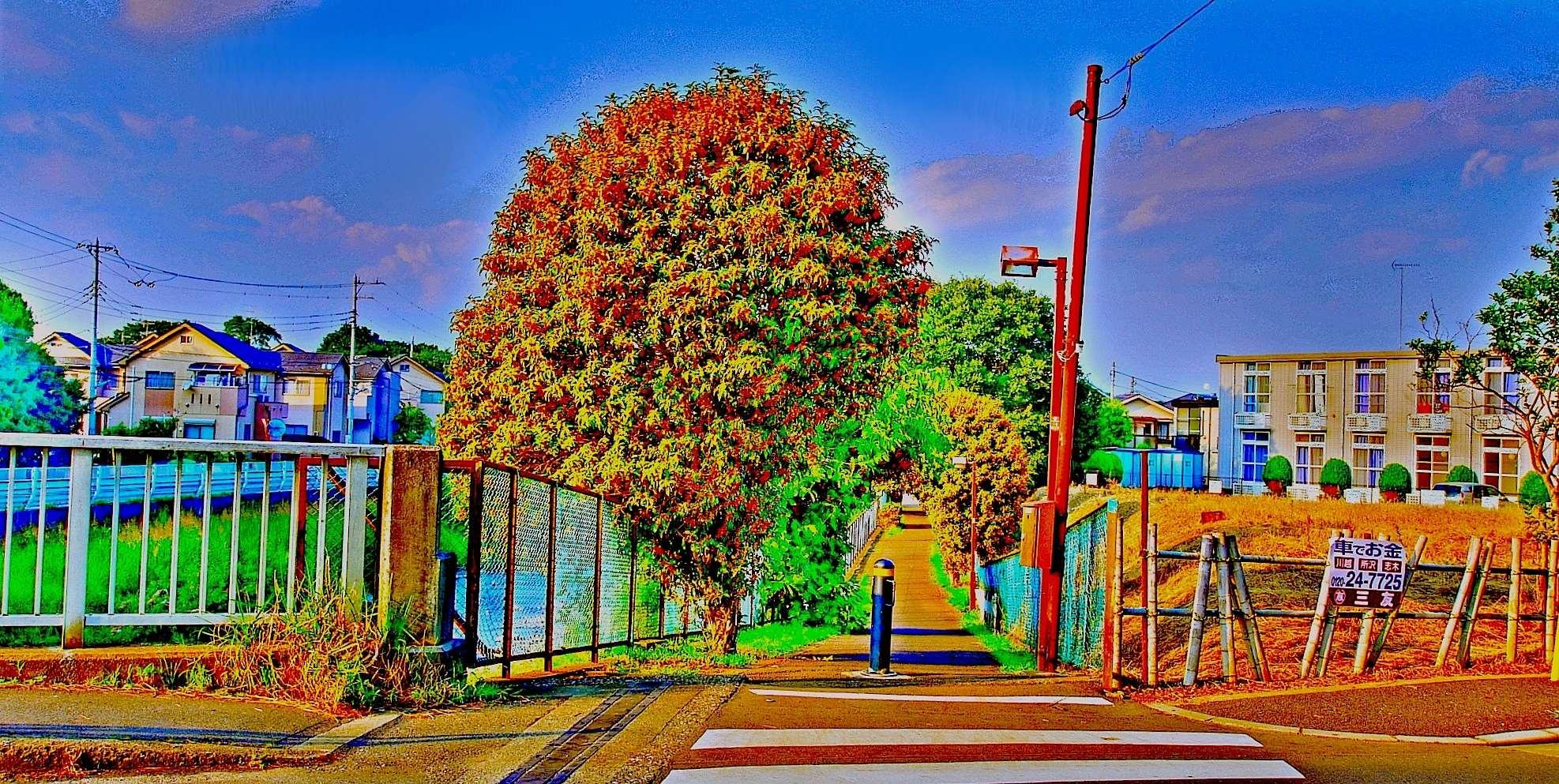 清瀬市の三郷橋せせらぎ公園近くキンモクセイ