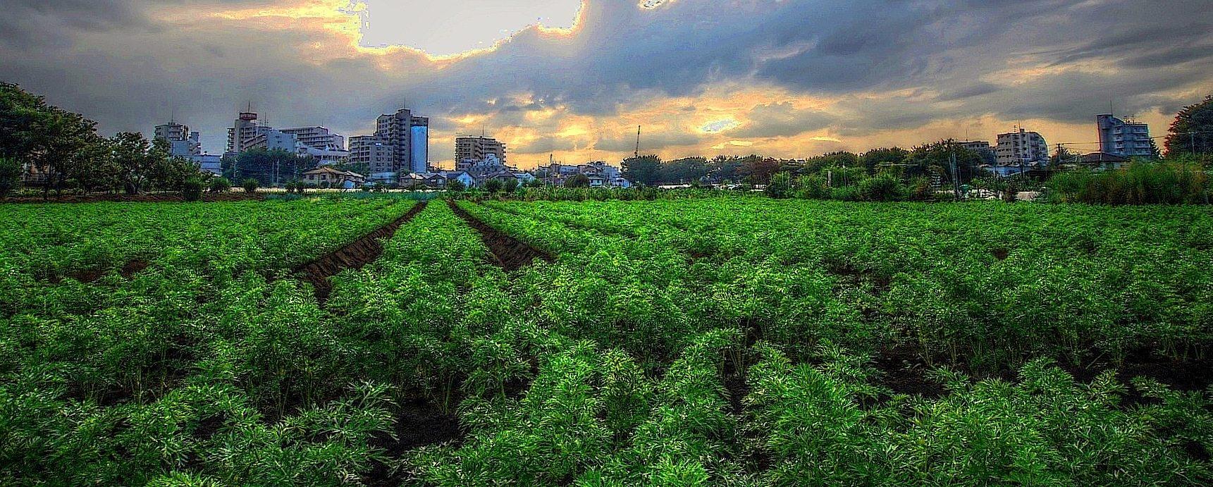 清瀬市のニンジン畑
