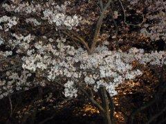 二条城夜桜1