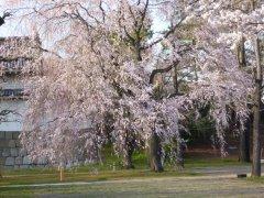 二条城桜1