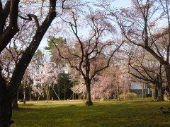 二条城桜2