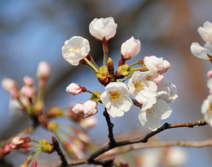 桜は、いいね。