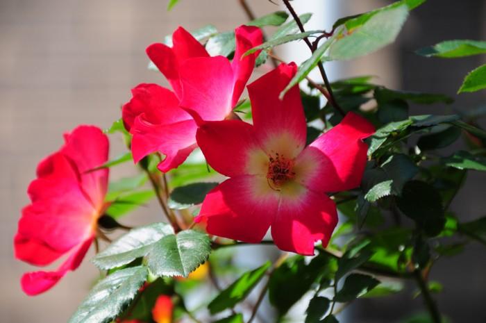 9454四季咲きのバラ
