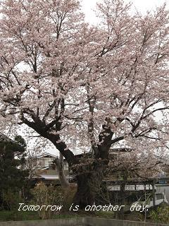 桜 古木 正面