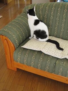 可愛いお邪魔ネコ ソファに乗ってみる