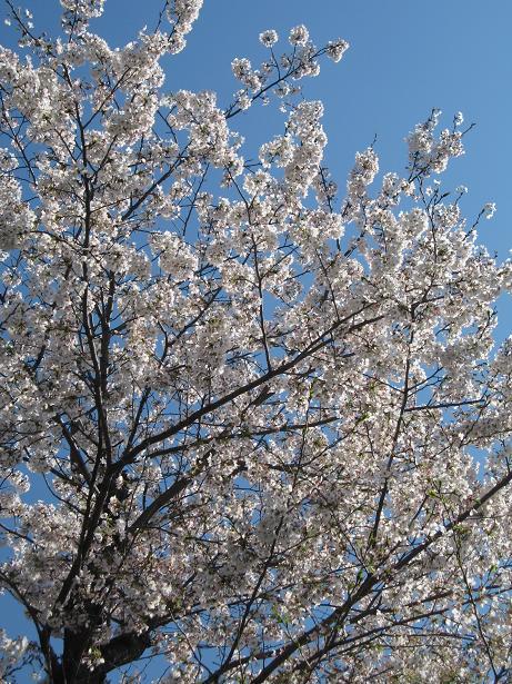 学校の桜 2