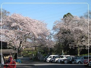 上野墓地公園入り口の桜