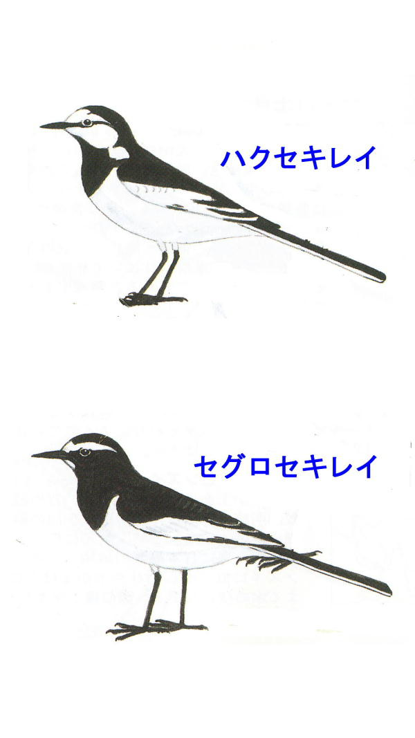 20120428 セキレイ判別