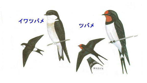 20120428 ツバメ判別