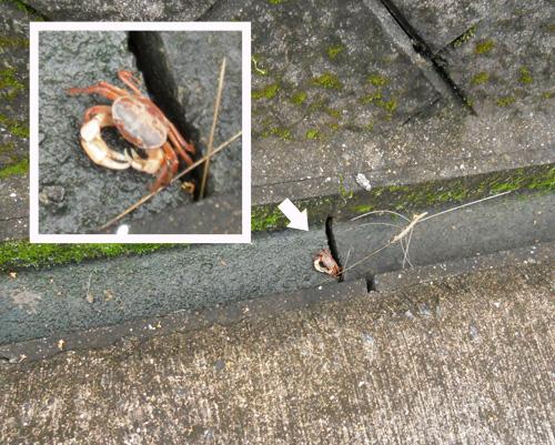 普通サイズの沢蟹ね。