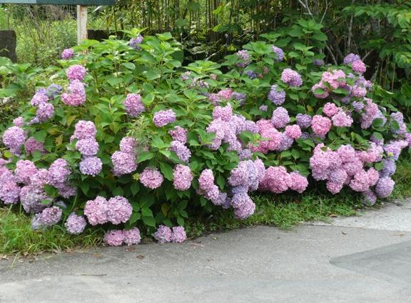 隣には真っ白の紫陽花もありました