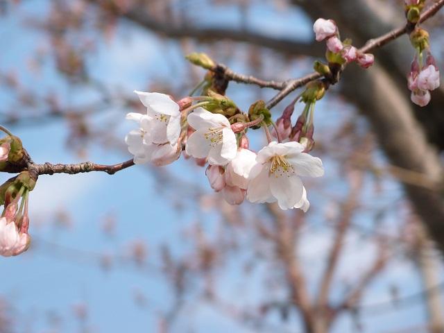 120409そばカフェ桜