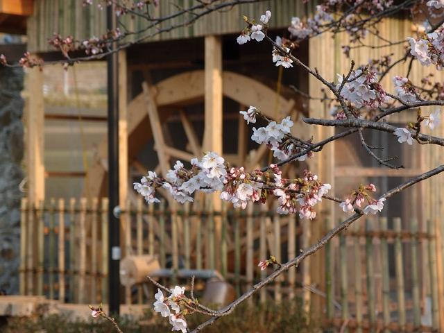 120409水車の桜