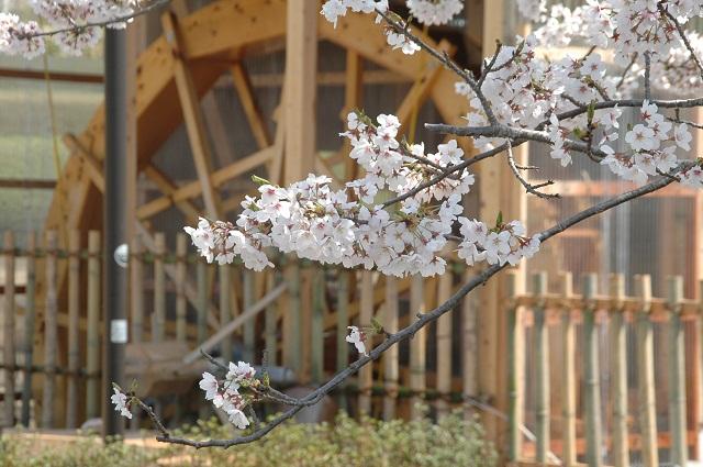120412水車の桜