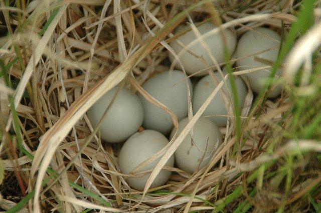 120530きじ卵