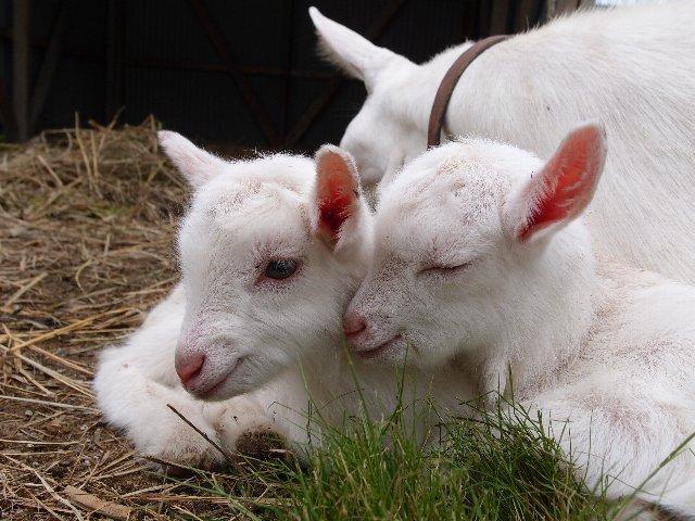 120624ヤギの赤ちゃん