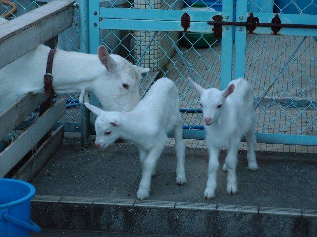 120629双子のヤギ