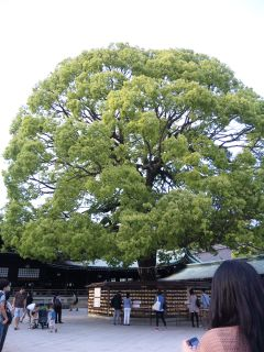 明治神宮の木