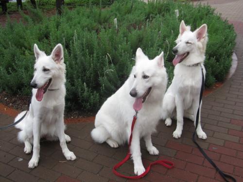 左からホワイトスイスシェパード ビオラ、リサ、エース